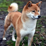 Aimi of the Queen of Shiba